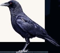 img-crow